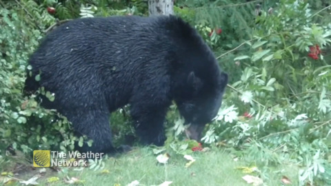 BLACK BEAR CHOMPS ON BERRIES IN PREPARATION FOR HIBERNATION