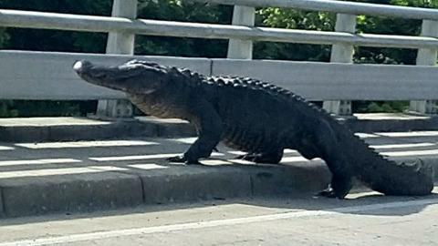 11-FOOT ALLIGATOR DISRUPTS MORNING TRAFFIC FOR AN HOUR