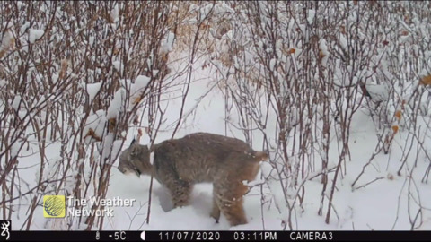 BOBCAT WALKING THROUGH A SNOWY TRAIL CAUGHT ON WILDLIFE CAM