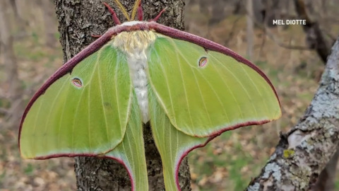 UP CLOSE WITH THE LUNA MOTH, ONE OF THE LARGEST IN NORTH AMERICA
