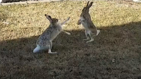 BUNNIES STEP INTO THE RING TO BATTLE FOR EASTER DOMINANCE