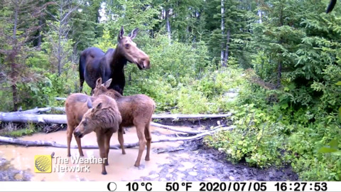 MAMA MOOSE AND HER CALVES CAUGHT ON CAMERA IN B.C.