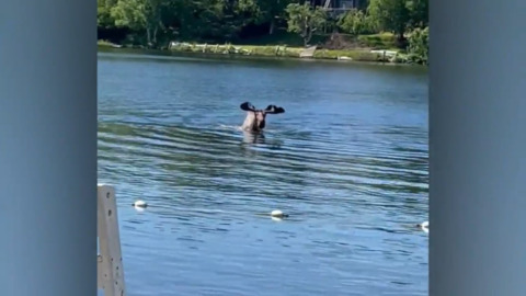 THE BEACH IS THAT WAY... LARGE MOOSE SWIMS TOWARDS SHORE
