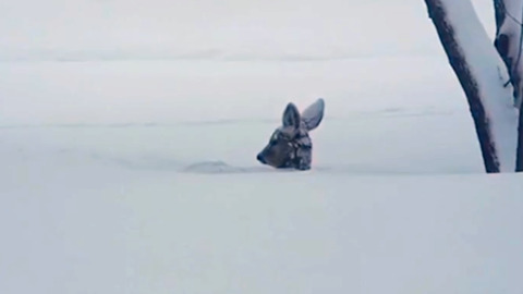 DEER EMERGES FROM A NAP IN THE SNOW, SHAKING OFF WINTER