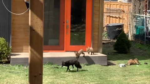 LIVESTREAM CAPTURES MOM & DAD FOX WITH 7 PUPS IN BACKYARD