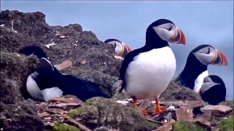 ATLANTIC PUFFINS GATHER ON THE ROCKS ON A WINDY DAY