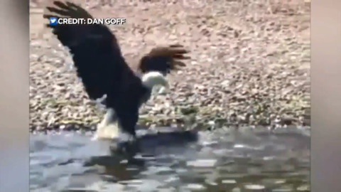 BALD EAGLE SNAGS HUGE FISH, CAUGHT ON CAMERA VIDEO GOES VIRAL