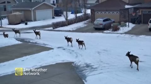 DEER TAKE OVER QUIET STREETS WHILE THE HUMANS STAY INSIDE