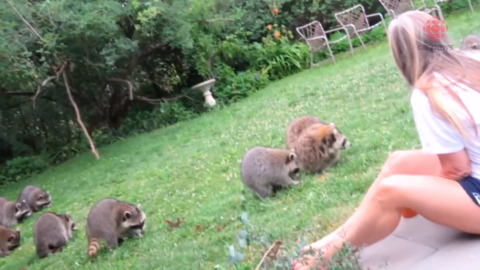 ONTARIO WOMAN CARES FOR NINE WILD RACCOONS, RAISING QUESTIONS