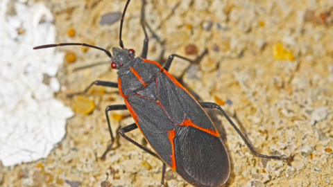 HAVE YOU SPOTTED THESE RED AND BLACK BUGS AT HOME? WHAT TO DO NEXT