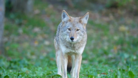 WHAT TO DO IF YOU ENCOUNTER A COYOTE IN YOUR NEIGHBOURHOOD