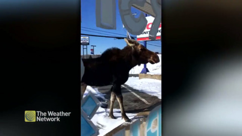 "WATCH THIS MOOSE AS HE ""WINDOW SHOPS"" THROUGH BATHURST, NEW BRUNSWICK"