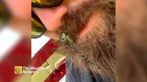 WATCH A DRAGONFLY EAT A HORSEFLY ON THIS CANADIAN'S BEARD
