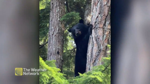 LARGE BLACK BEAR SCURRIES UP TREE NEAR B.C. HOME