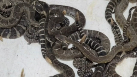 LIVING ON A RATTLESNAKE DEN: DROUGHT SENDS NEARLY 100 SNAKES UNDER HOME