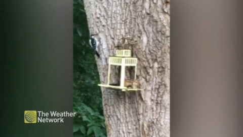 WATCH TURF WAR UNFOLD AS WOODPECKER AND CHIPMUNK GO HEAD-TO-HEAD
