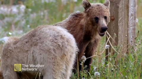 A COUPLE HUNGRY GRIZZLY BEAR CUBS INVESTIGATE THEIR NEW WORLD FOR FOOD IN BRITISH COLUMBIA