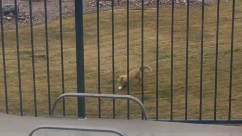 CUTE: FOX BORROWS KIDS' BALL AND HAS A LITTLE FUN