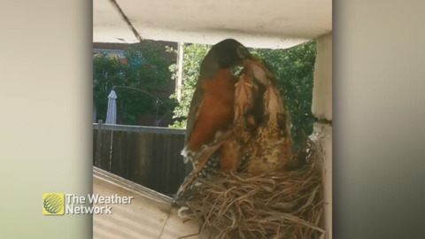 GETTING UP CLOSE WITH RAVENOUS ROBIN BABIES HAVING A MEAL