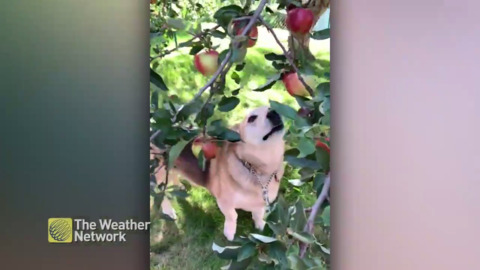 APPLE PICKING POOCH! EVEN THIS CORGI IS IN THE FALL HARVEST MOOD