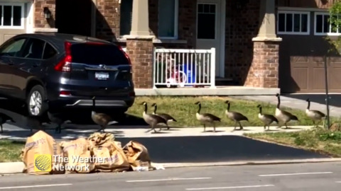TRAIN OF GEESE WALK SINGLE FILE ALONG SIDEWALK