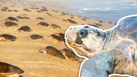 THOUSANDS OF SEA TURTLES CRAWL ASHORE AND FLOOD BEACH IN ANNUAL MIGRATION