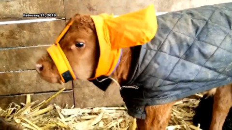 MOO MUFFS: THESE EAR MUFFS FOR CALVES AREN'T JUST ADORABLE, THEY'RE FUNCTIONAL