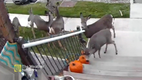 GROUP OF HALLOWEEN BANDITS CAUGHT STEALING A JACK-O-SNACK