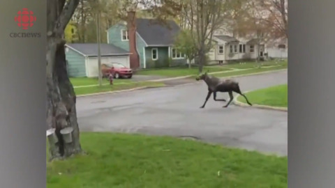 MOOSE TAKES A LEISURELY TROT THROUGH A N.B. NEIGHBOURHOOD