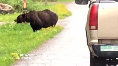 OVERTAKE WITH CAUTION: GRIZZLY BEAR FEEDING ON THE SIDE OF ALBERTA ROAD