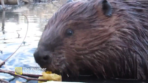 UP-CLOSE AND PERSONAL WITH A BEAVER ENJOYING ITS LUNCH