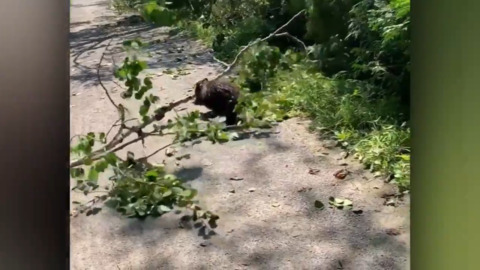 BEAVER USES BIKE PATH TO TRANSPORT A RATHER LARGE BRANCH