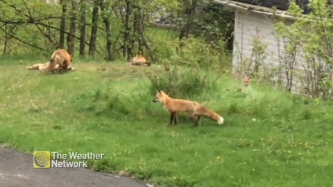 ADORABLE FOX FAMILY ENJOYS PLAYTIME IN THE YARD
