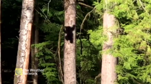 CUTE BABY BEAR DEMONSTRATES A BLACK BEARS ABILITY TO CLIMB