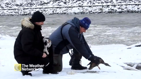 FROZEN DUCK GETS UNSTUCK THANKS TO GOOD SAMARITANS IN QUEBEC