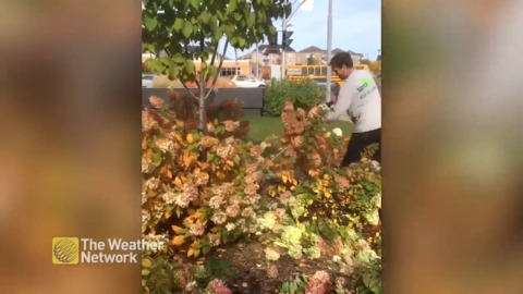 WATCH THIS MAN GET THE FALL TRIMMING DONE; IT'S AN ODDLY SATISFYING SIGHT