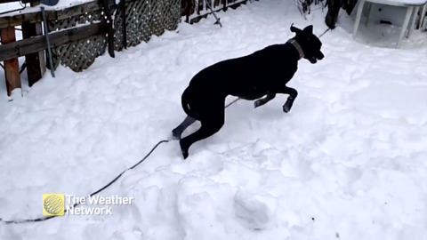 THE BIGGEST FAN OF SNOW SO FAR THIS SEASON IS CLEARLY THIS GREAT DANE RESCUE