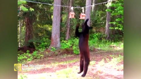 BEAR JUMPS FOR A TREAT, GETS MORE THAN IT BARGAINED FOR