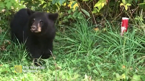 CURIOUS BEAR CUB SPIES ON CHICKEN COOP REPAIRS