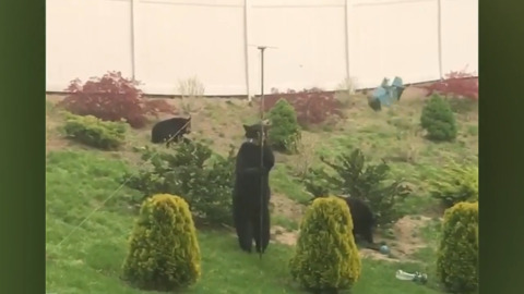 MAMA BEAR LOOTS A BACKYARD BIRD FEEDER FOR HER CUBS
