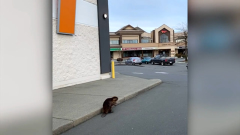 BEAVER CAUGHT ON CAMERA WALKING AROUND PARKING LOT