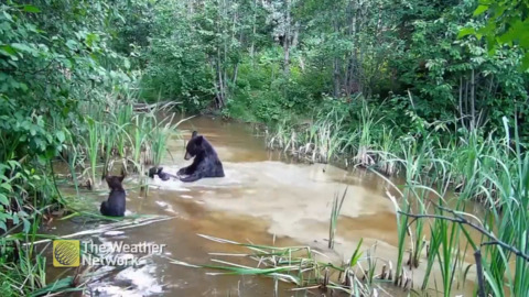 WATCH THIS SWEET INTERACTION BETWEEN MAMA BEAR AND HER CUBS IN MUDDY POND