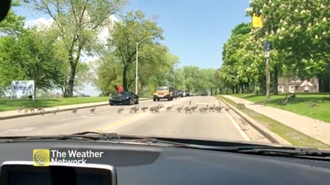 EVERYONE GET IN LINE! PARADE OF GEESE CROSS THE ROAD