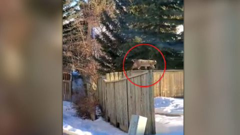 JUST YOUR FRIENDLY NEIGHBOURHOOD BOBCAT WALKING ALONG THE FENCE LINE