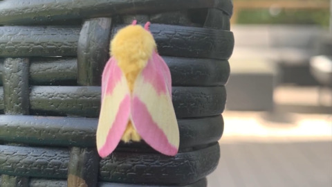 THIS 'STRAWBERRY BANANA MOTH'  EXISTS IN NATURE AND IT'S VERY COOL LOOKING