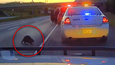 POLICE AND ANIMALS: CURIOUS BEAVER INTERRUPTS ALASKA TRAFFIC STOP