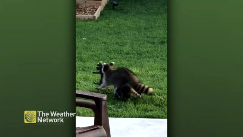 CUTE! MAMA RACCOON CARRIES HER BABY ACROSS LAWN
