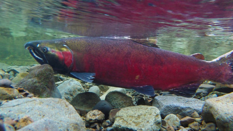 UPDATE: OFFICIALS REVEAL SHOCKING BC SALMON NUMBERS POST MAJOR LANDSLIDE