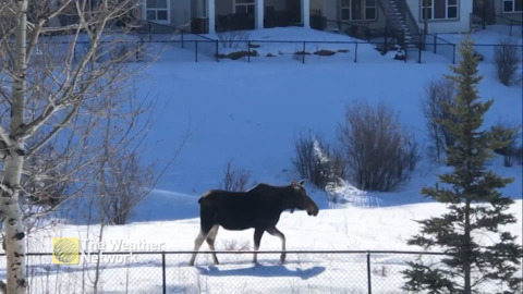 LARGE VISITOR STROLLS PAST ALBERTA BACKYARDS