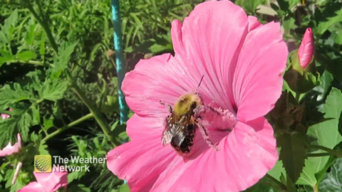 BUMBLEBEE COVERED IN POLLEN GOES FLOWER-HOPPING